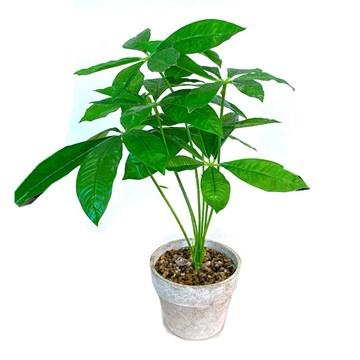 Imagen de Planta Scheffieras Verde